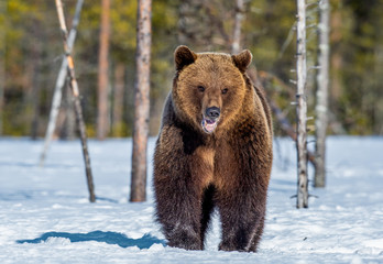 Brown Bear on the snow in spring forest. Front view. Ursus arctos.