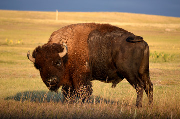 Deurstickers Bison bison in yellowstone national park