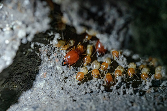Termite soldiers and termites are working.