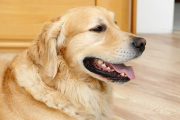 golden retriever dog looking  attentively