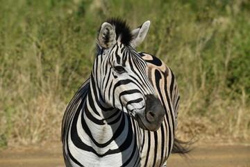 Foto op Aluminium Zebra South African zebras in a national park