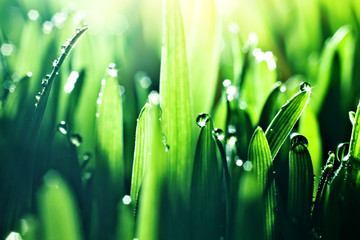 Macro. Background, water drops on the green grass. Desktop background. Selective focus.
