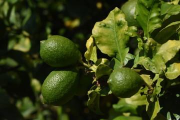 """Limoneros verdes en rama, en un limonero afectado de la plaga de """"Psila Africana"""" ((Trioza erythreae)."""