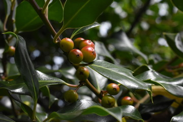 Bayas de acebo natural en la rama del árbol y en proceso de maduración.