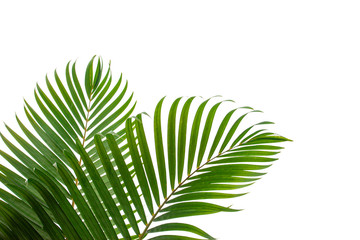tropical coconut leaf isolated on white background, summer background