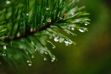 Water drops on conifer branch