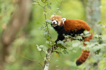 Aluminium Prints Panda Red panda eating on the tree