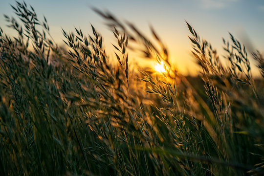 golden Wild wheat on the field at sunset sunrise