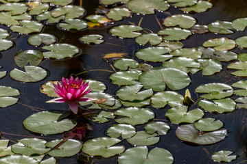 Beautiful magenta flower blooming among lily pads