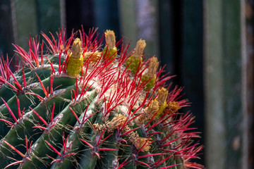 Detailed close-up of cactus showing dark pink spines
