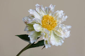 Rare variety peony flower with crumpled petals isolated on a beige background.