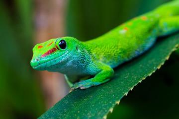 close-up side view Madagascar giant day gecko (phelsuma grandis)
