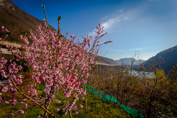 Peach tree in bloom with sun lake and mountain in the background, Vittorio Veneto, Italy