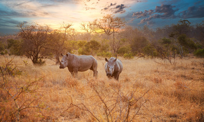 Papiers peints Rhino Two Rhinos in late afternoon, Kruger National Park
