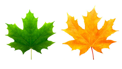 two maple colored leaves. isolated on white