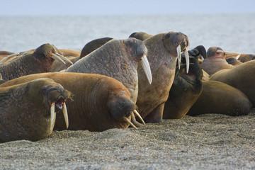 Kololonie von Pazifischen Walrosse , Aleuten - Ein bis zu 8cm dicke Fettschicht schützt die bis 1200 kg schweren Tiere vor Kälte und Verletzungen. Die gefährlichen Stosszähne werden bis zu 1 m lang