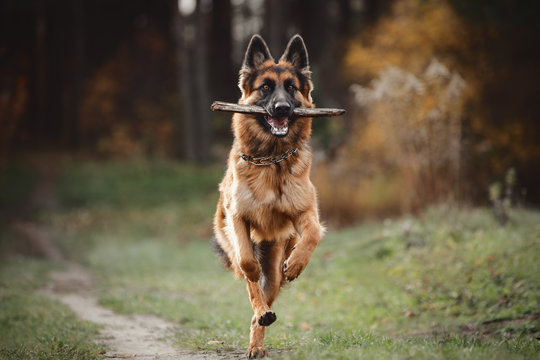portrait of beautiful young long haired female german shepherd dog running with stick on the road in daytime in autumn forest