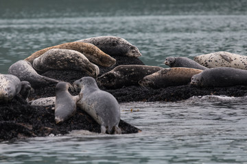 Spotted Seals, Gefleckte Robben - Mutter mit Jungtier, Alaska