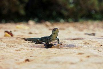 One dark green lizard in front of a puddle close up