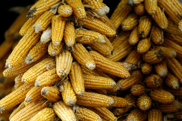 picture of corn cobs