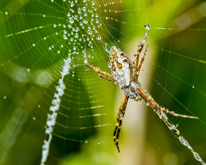 Silver spider on the web with water drops -  Argiope argentata in the web macro photo
