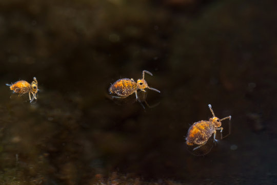 Springtails on water