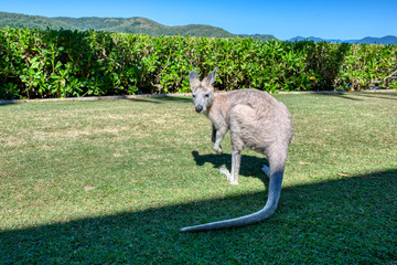 Portrait of a red-necked wallaby standing on the grass in the middle of the park
