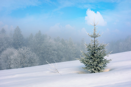 small coniferous tree on a snow covered meadow. magic winter scenery in misty weather conditions. distant forest in haze