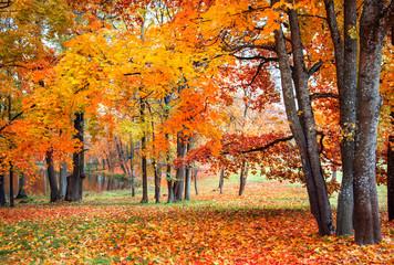 Beautiful autumn maples in park