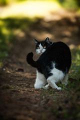 Black and white domestic cat in a meadow