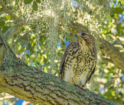 Red-Shouldered Hawk in Tree Looking Left at Lake Seminole Park, Florida