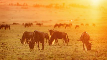 Wall Mural - Wildebeest Grazing at Golden Sunset