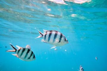 Large school of tropical scissor tail sergeant fish feeding in tropical waters of Fiji