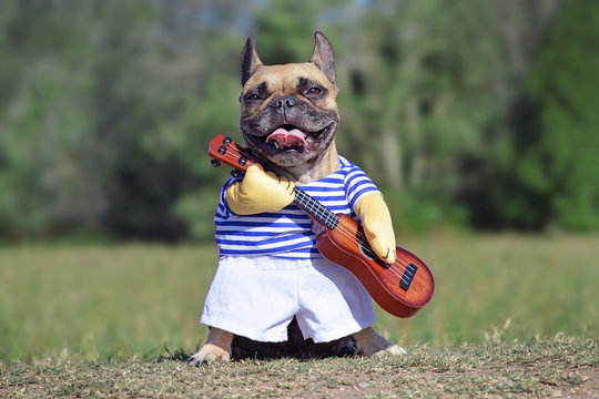 Funny laughing French Bulldog dog dressed up as musician wearing a costume with striped shirt and fake arms holding a guitar