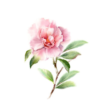 Watercolor Camellia big pink flower on a tree branch. Floral hand drawn illustration isolated on white for wedding stationery design, card print