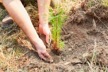 Hände von Waldarbeiter pflanzen Kiefer Setzling