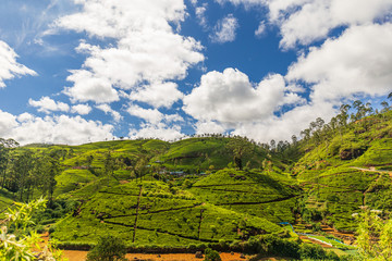 Green tee terrasses in the highland from Sri Lanka near Nuwara Eliya - Sri Lanka