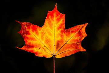 maple leaf back light