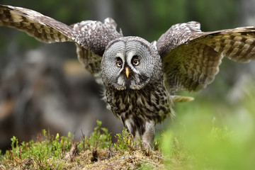 Foto op Canvas Uil Great Grey Owl portrait, bird of prey