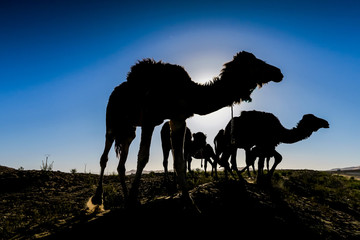 Poster Kameel silhouette of camel at sunset, photo as background