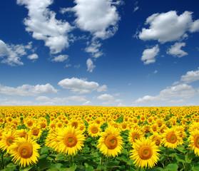 Wall Mural - Sunflowers field on sky