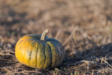 Single pumpkin on field ready for the harvest in October.