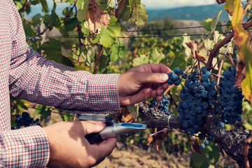 Engineer testing red grapes with  refractometer in a vineyard. Selective focus