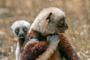 Crowned sifaka lemur ( Propithecus coronatus ), Mother and Baby. Wild nature Madagascar