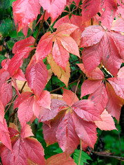 Bright red autumn leaves of Virginia creeper, Parthenocissus quinquefolia, aka Victoria creeper, five-leaved ivy.