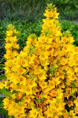 Lysimachia punctata (Garden Loosestrife, Yellow Loosestrife or Garden Yellow Loosestrife) flowers in the garden