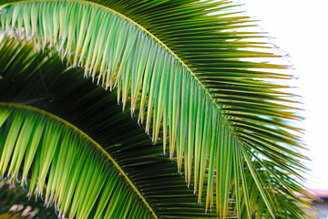Wall Mural - Close up green palm leaves.