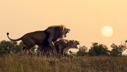 Wall Mural - lions to arid savannah