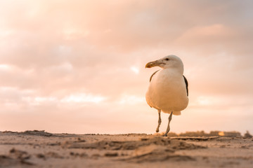 A single Kelp Gull (Larus Dominicanus) standing on one leg on the Plettenberg Bay beach at sunset. Western Cape, South Africa