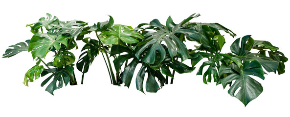 Acrylic Prints Plant monstera jungle plant bush tree isolated include clipping path on white background